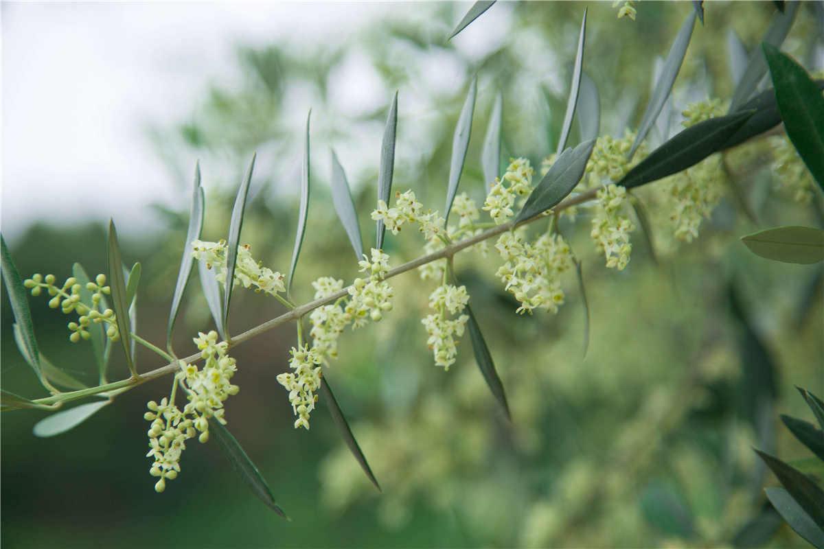 <span>南国花园基地橄榄花</span><span>开</span>